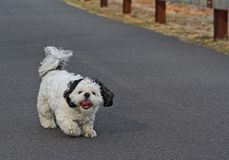 Shih Tsu Taking a Walk. A Shih Tsu going for a walk Royalty Free Stock Photo