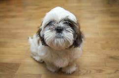 Shih tzu小狗品种微小的狗,变老6个月,嬉闹, loveli 库存照片