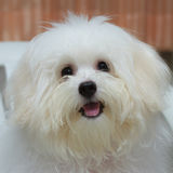 Shih tzu小狗品种微小的狗,变老6个月,嬉闹, loveli 库存图片