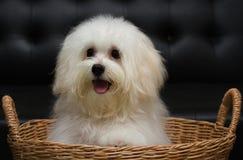 Shih tzu小狗品种微小的狗,变老6个月,嬉闹, loveli 免版税库存图片