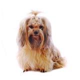 Shih Tzu狗在工作室 库存照片
