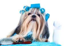 Shih tzu狗在洗涤以后 免版税图库摄影