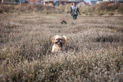 Shih Tzu на болоте Стоковые Фото