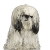 Shih Tzu (1 year) royalty free stock image
