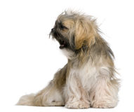 Shih Tzu, 1 year old, sitting Royalty Free Stock Photos