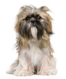 Shih Tzu, 1 year old, sitting Stock Image