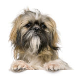 Shih Tzu, 1 year old, sitting Stock Images