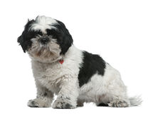 Shih Tzu, 1 year old, sitting Royalty Free Stock Photography