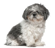 Shih tzu, 1 year old, sitting in front of white Royalty Free Stock Photos