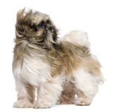 Shih Tzu, 1 year old, standing Stock Photos