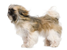 Shih Tzu, 1 year old, windswept and standing Royalty Free Stock Photos