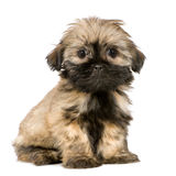 Shih Tzu (10 weeks). In front of a white background Royalty Free Stock Photography