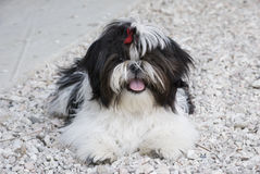 Shih Tzu Fotos de Stock Royalty Free