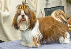 Shih Tzu photos stock