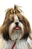 Shih Tzu photo stock