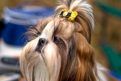 Shih Tzu Stock Photos