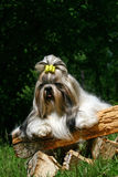 The Shih Tzu Royalty Free Stock Photos