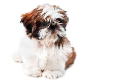 Shih-tzu Fotos de Stock