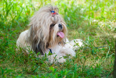 Shih Tzu. Dog breed Shih Tzu lying on a grass royalty free stock images