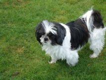Shih Tzu Royalty Free Stock Photos
