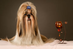 Shih-tzu Royalty Free Stock Images