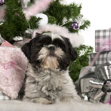 Shih Tzu, 18 months old, lying with Christmas Royalty Free Stock Images