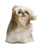 Shih Tzu, 18 months old, windswept and sitting. Against white background royalty free stock photos