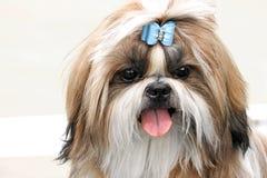 Shih tzu. Cute Shih tzu dog closeup royalty free stock photos