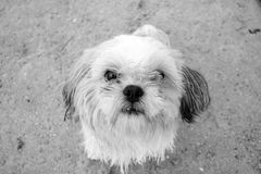 Shih tzu. Portrait in black and white stock photo