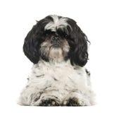 Shih Tzu, 2 years old, lying Royalty Free Stock Photo