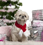 Shih Tzu, 2 years old, sitting Royalty Free Stock Photography