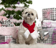 Shih Tzu, 2 years old, sitting with Christmas Stock Photography