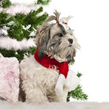 Shih Tzu, 2 years old, sitting with Christmas Stock Photo