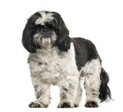 Shih Tzu, 2 years old, standing Stock Image