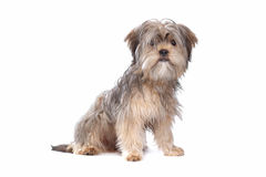 Shih Tzu Royalty Free Stock Photo