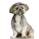 Shih Tzu Photographie stock