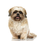 Shih Tzu Royalty Free Stock Photography