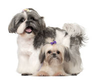 Shih Tzu, 3 years old and 9 months old, standing Royalty Free Stock Photography