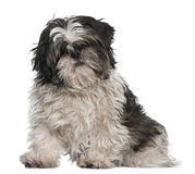 Shih Tzu, 3 years old, sitting in front of white Stock Photo