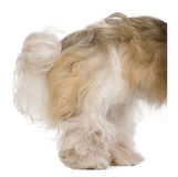 Shih Tzu, 3 years old, standing behind white board Royalty Free Stock Photos