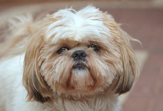 Shih-tzu. Portrait with a haircut royalty free stock image