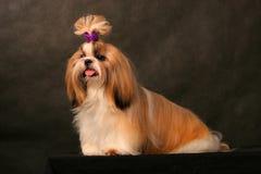 Shih Tzu Royalty Free Stock Photos