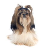 Shih Tzu Royalty Free Stock Images