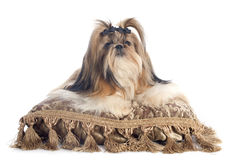 Shih Tzu. Purebred Shih Tzu on cushion in front of white background royalty free stock photography
