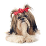 Shih Tzu. Purebred Shih Tzu in front of white background stock photography