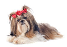 Shih Tzu. Purebred Shih Tzu in front of white background royalty free stock images