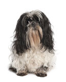 Shih Tzu (4 years old) Royalty Free Stock Image