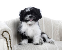 Shih Tzu Foto de Stock Royalty Free