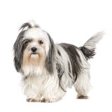 Shih Tzu. In front of a white background stock photo