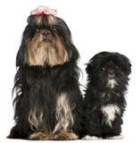 Shih Tzu, 5 anos velho, e filhote de cachorro de Shih Tzu Imagem de Stock